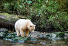 Kermode bear debating about going for a piece of salmon in the creek, Gribbell Island, coastal British Columbia