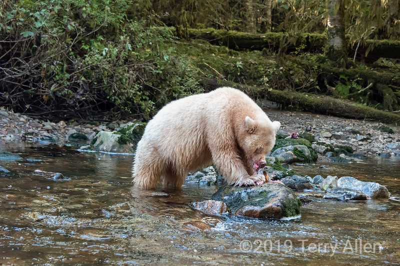 Spirit bear devouring a salmon, Gribbell Island, coastal British Columbia
