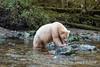 Spirit bear devouring a salmon, Gribbell Island, coastal British Columbia