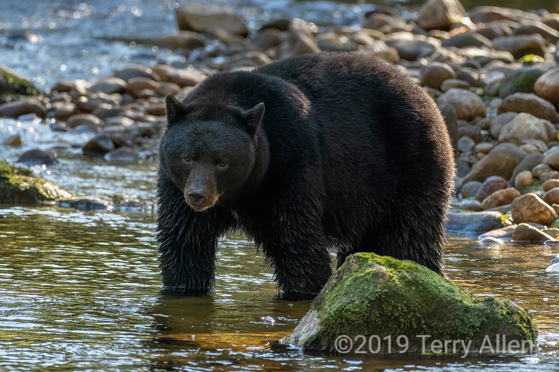 Large Kermode bear, black phase, looking for salmon, Riorden Creek, Gribbell Island, British Columbia
