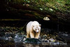 Spirit bear on a stream bank gleaming against a large cedar log, Gribbell Island, coastal British Columbia