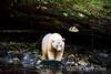 Spirit bear on a stream bank gleaming against a large cedar log, Gribbell Island, coastal British Columbia