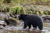 Black bear (Ursus americanus Kermodei black phase) devouring a salmon  Riorden Creek, Gribbell Island, British Columbia