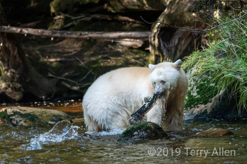Gotcha, spirit bear catches a salmon, Gribbell Island, coastal British Columbia