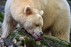 Spirit bear eating a morsel of salmon of a mossy log, Gribbell Island, British Columbia