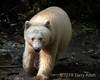 Portrait of a spirit bear in a shaft of light, Gribbell Island, coastal British Columbia