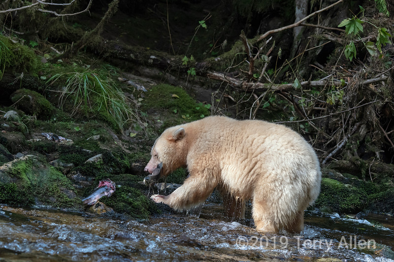 Spirit bear wtih newly caught salmon, Gribbell Island, British Columbia