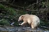 Spirit bear wtih newly caught salmon, Gribbell Island, British Columbia