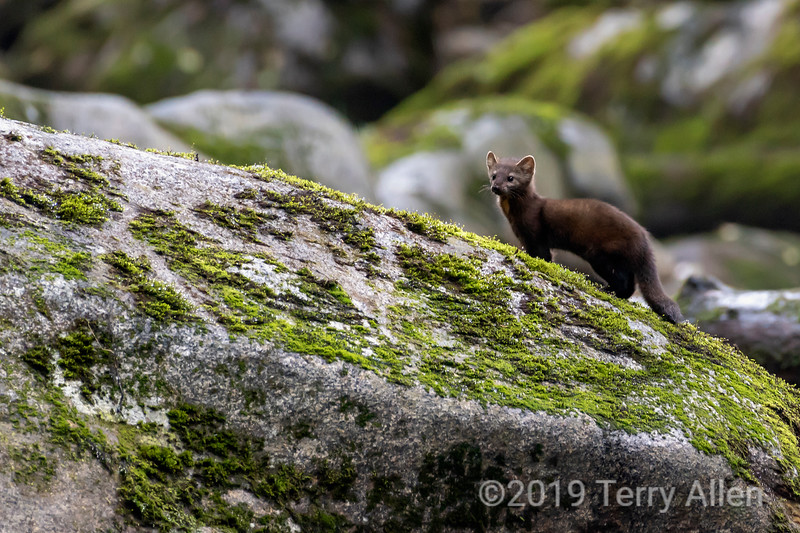 Pine martin (Martes americana) looking for salmon, Riorden Creek, Gribbell Island, British Columbia