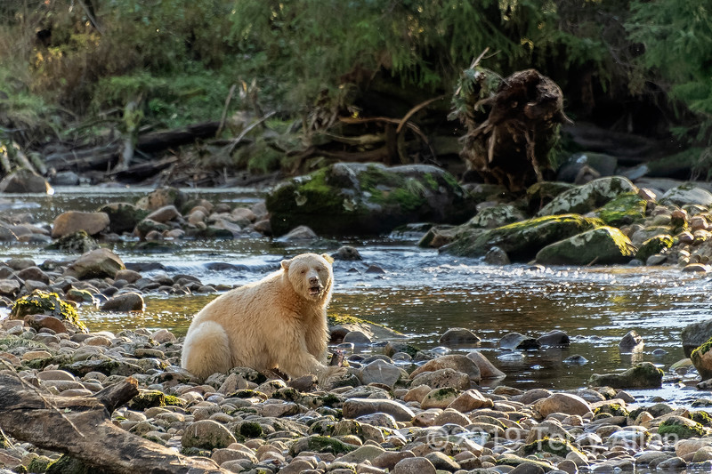 Spirit bear on the rocks with half-eaten salmon, Riorden Creek, Gribbell Island, British Columbia