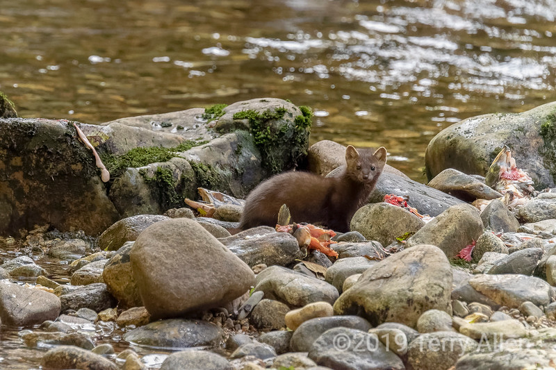 Pine marten (Martes americana) checking over some salmon carcasses,  Gribbell Island, British Columbia
