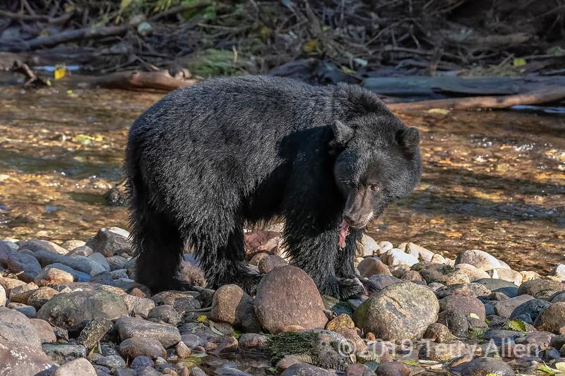 Kermode black bear eating a bit of salmon, Riorden Creek, Gribbell Island, British Columbia