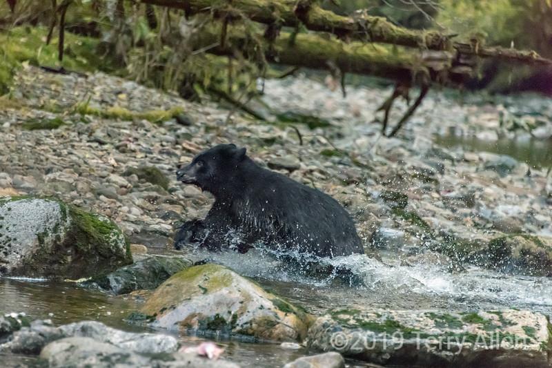 Running black bear, Gribbel Island Creek, British Columbia