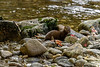 Pine marten (Martes americana) on a salmon creek with carcasses,  Gribbell Island, British Columbia