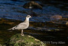 Young herring (query) gull on a mossy rock, Riorden Creek, Gribbell Island, British Columbia