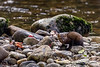 Pine marten (Martes americana) scavenging salmon carcasses, Gribbell Island, British Columbia