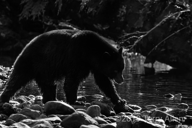 Black bear with rim light