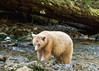 Spirit bear moving upstream, Gribbell Island Creek (Kwa), Verney Pass, British Columbia