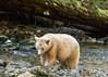 Spirit bear moving upstream, Gribbell Island Creek (Kwa), Verney Pass, British Columbia
