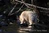 Spirit bear in a shaft of sunlight, Gribbell Island, coastal British Columbia