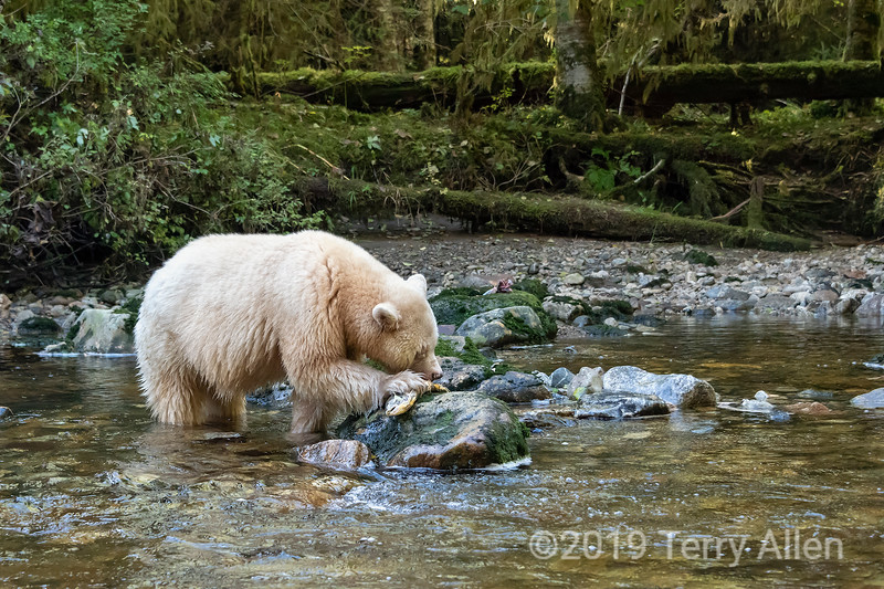 Kermode bear holding a salmon on a rock with its claws, Gribblell Island, coastal British Columbia