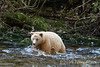 Kermode bear pounces on a salmon, Gribbell Island, north coastal British Columbia