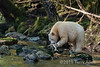 Spirit bear gnawing on a salmon, Gribbell Island, coastal British Columbia
