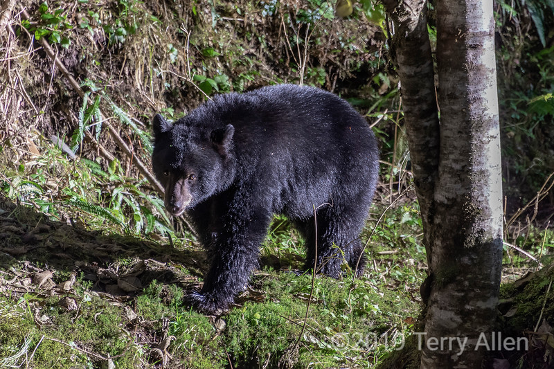 Black bear in the temperate rain forest, Gribbell Island, British Columbia