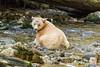 Spirit bear taking a break from fishing, Gribbell Island Creek (Kwa), Verney Pass,British Columbia