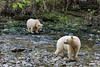 Pair of spirit bears on a salmon creek, Gribbell Island, British Columbia