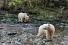 Pair of spirit bears on a salmon creek, Gribbell Island, British Columbia