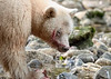 Close-up of spirit bear eating salmon, Gribbell Island, British Columbia