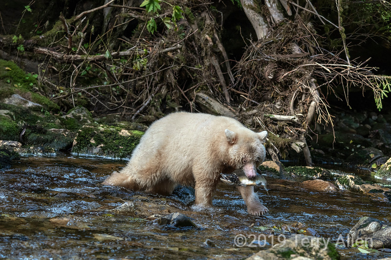 Large male pink salmon in the jaws of a spirit bear  Gribbell Island, British Columbia