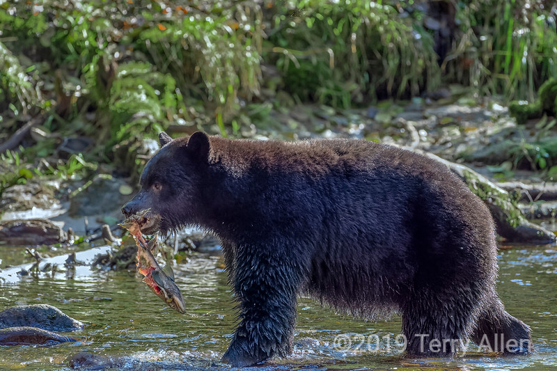 Black bear carrying a salmon carcass in its mouth, Riorden Creek, Gribbell Island, British Columbia