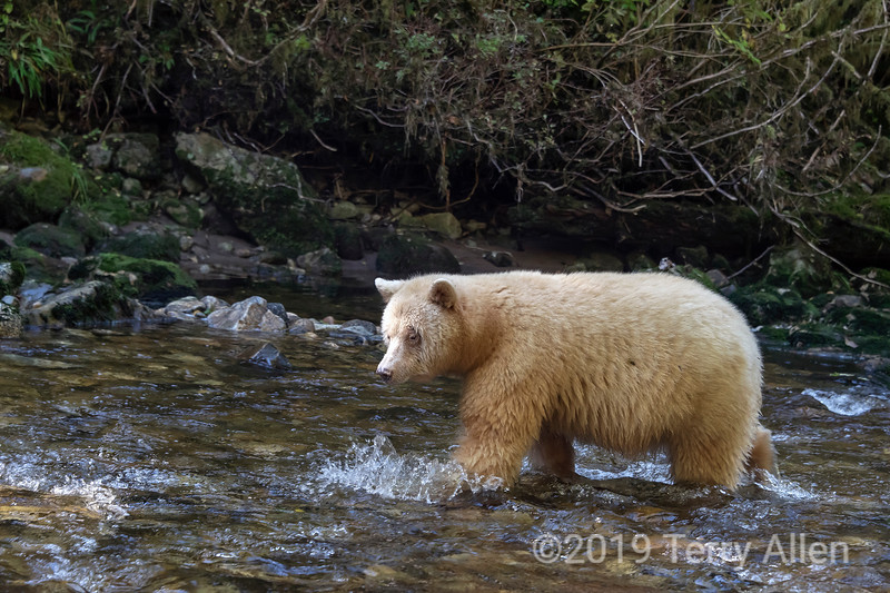 Spirit bear chasing after salmon in a shallow creek, Gribbell Island, Verney Passage, British Columbia