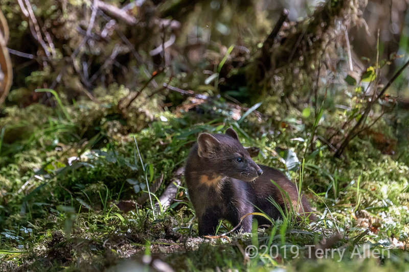 Pine marten (Martes americana) in the forest,  Gribbell Island, British Columbia
