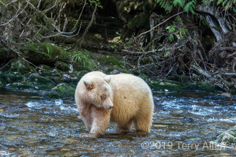 Spirit bear standing in a creek looking for salmon, Gribbell Island, Verney Passage, British Columbia