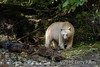 Spirit bear with salmon it carried into the woods, Gribbell Islalnd, coastal British Columbia