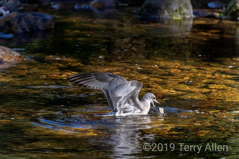 Juvenile herring gull grabbing a bit of salmon, Riorden Creek, Gribbell Island, British Columbia