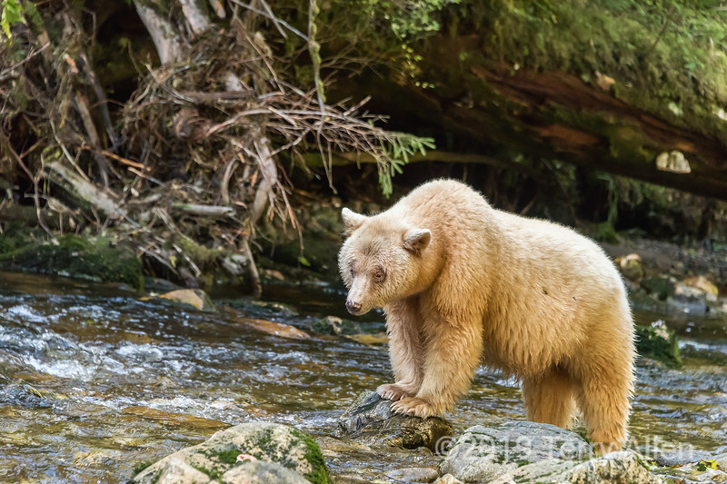 Spirit bear looking for salmon, feet on rock, Gribbell Island Creek (Kwa), Verney Pass, British Columbia