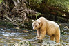 Spirit bear looking for salmon, feet on rock, Gribbell Island Creek (Kwa), Verney Pass, British Columbia