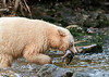 Freshly caught salmon in mouth of spirit bear, Gribbell Island, British Columbia
