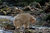Kermode bear, white phase, looking to catch a salmon, Riorden Creek, Gribbell Island, British Columbia