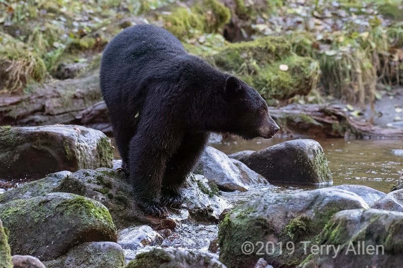 Black bear (Ursus americanus Kermodei black phase), standing on rock, Riorden Creek, Gribbell Island, British Columbia