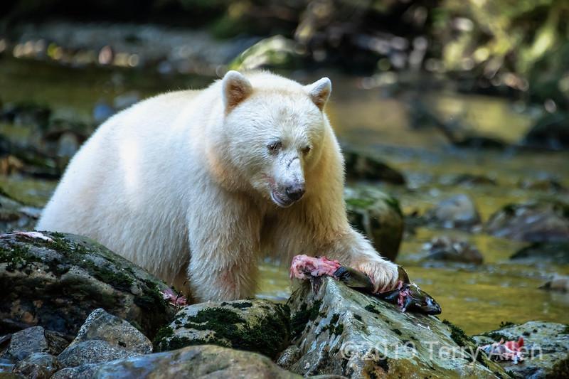 Spirit bear looking down at half-eaten salmon, Gribbell Island, coastal British Columbia