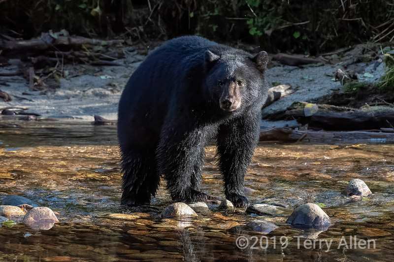 Kermode black bear standing in a salmon stream, Riorden Creek, Gribbell Island, British Columbia