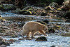 Spirit bear leaping at a salmon, Riorden Creek, Gribbell Island, British Columbia
