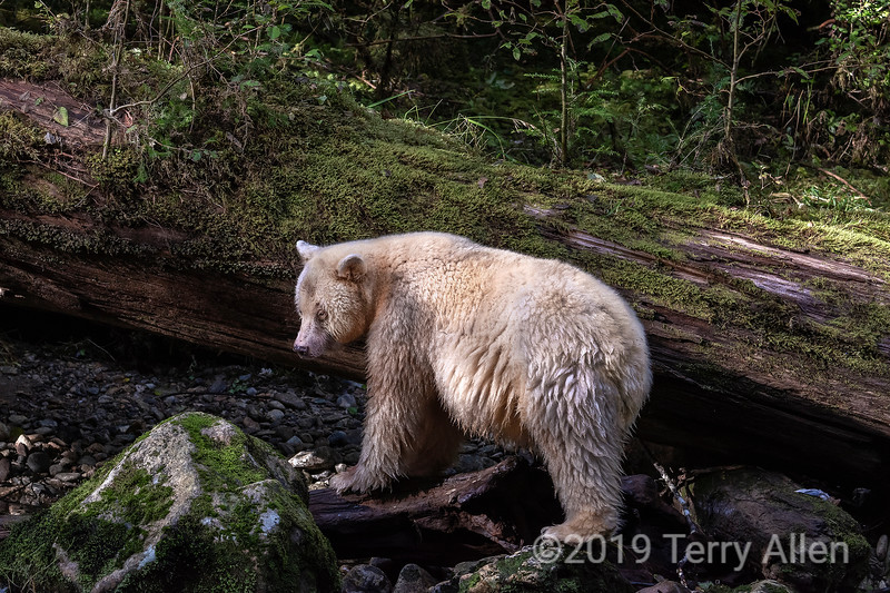 Spirit bear by a mossy large fallen cedar tree, Gribbell Island, British Columbia