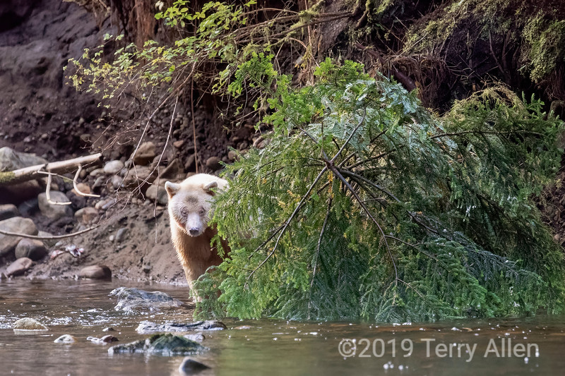 Spirit bear emerging from behing a downed spruce tree, Gribbell Island, BC