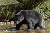 Large black bear walks up a salmon creek under a fallen cedar tree, Riorden Creek, Gribbell Island, British Columbia